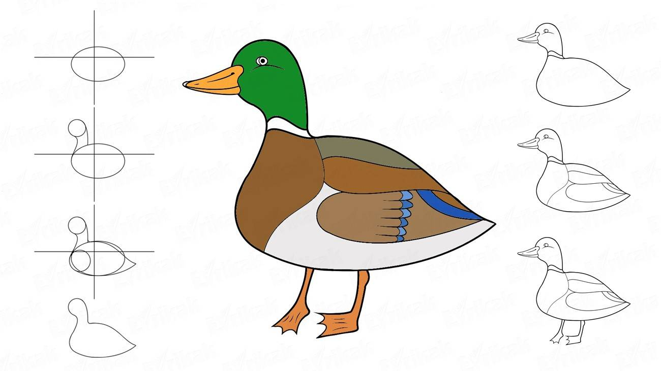 Learn to draw a duck in profile step by step (+ coloring)