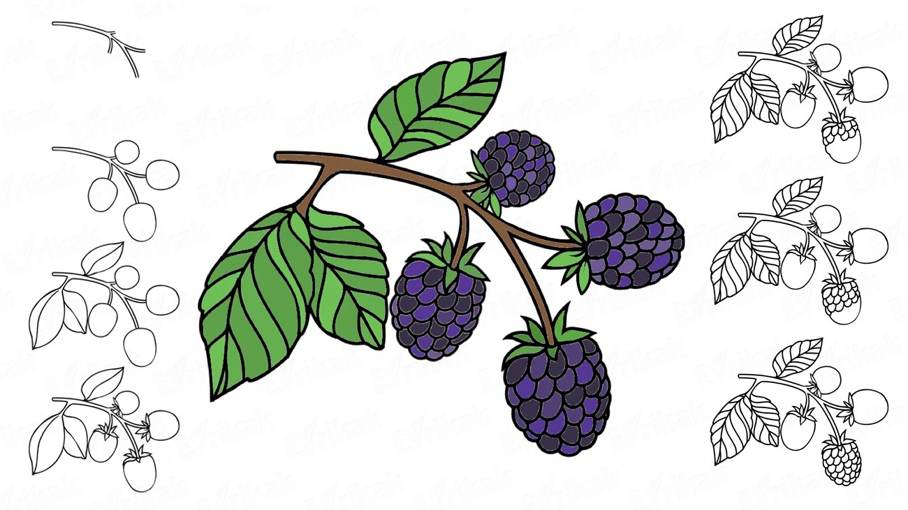 Learn to draw a blackberry for children (+ coloring)