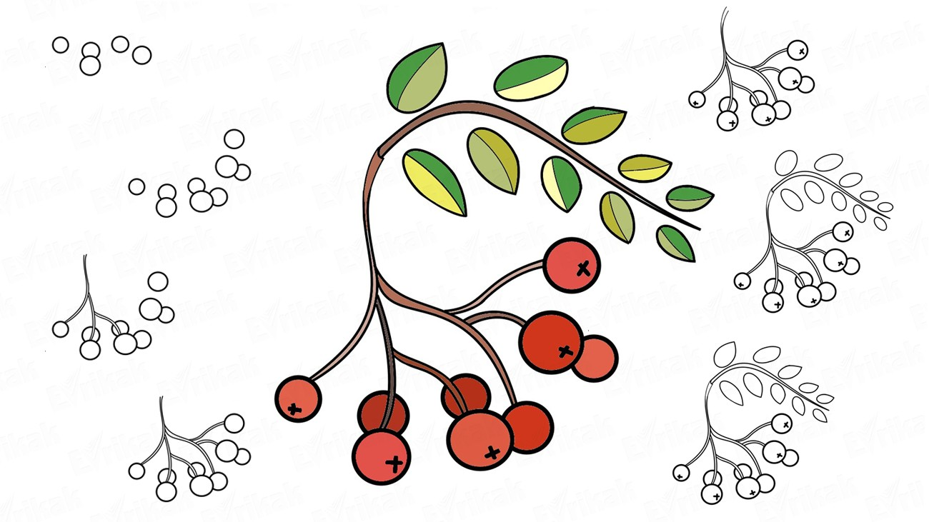 Learn to draw a red ashberry (+ coloring)