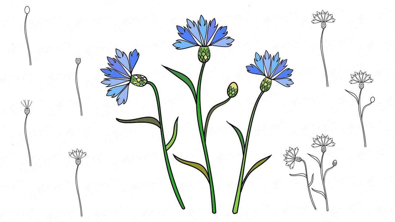 Learn to draw the beautiful cornflowers (+coloring)