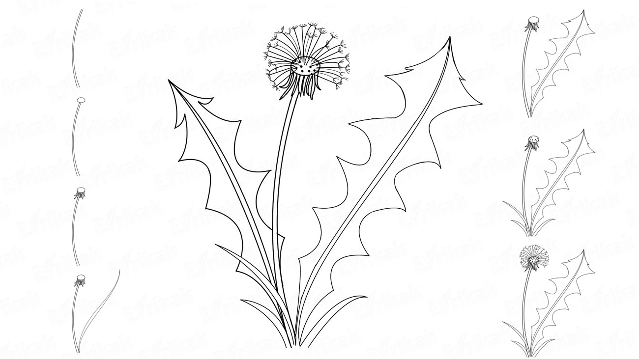 Learn to draw the dandelions step by step together with a child
