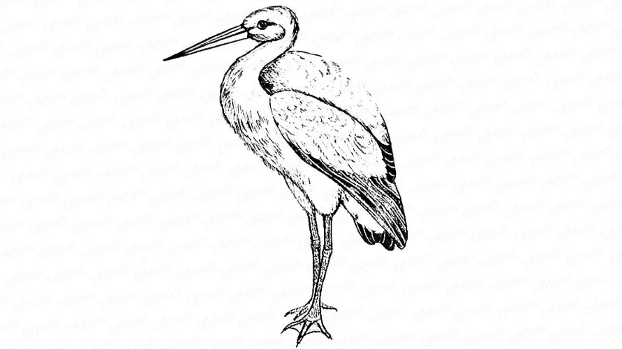 Learn to draw a stork in stages together with a child