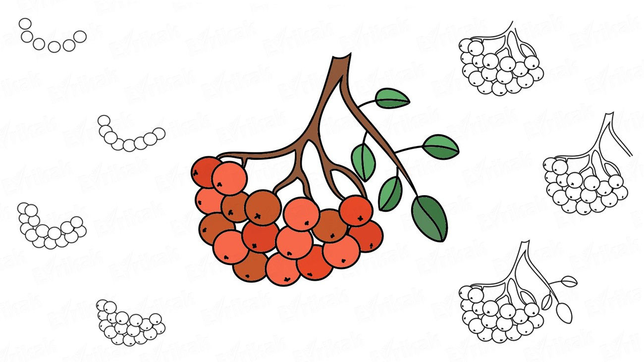 Learn to draw an autumn ashberry step by step together with a child (+ coloring)