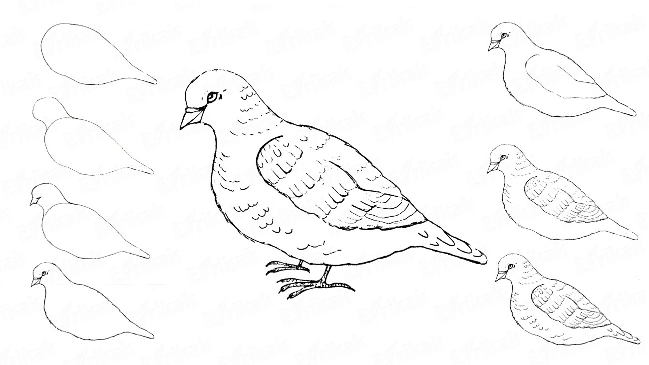 Learn to draw a dove step by step using a pencil