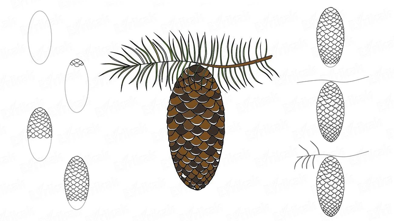 How to draw a fir branch with a cone (+ coloring)