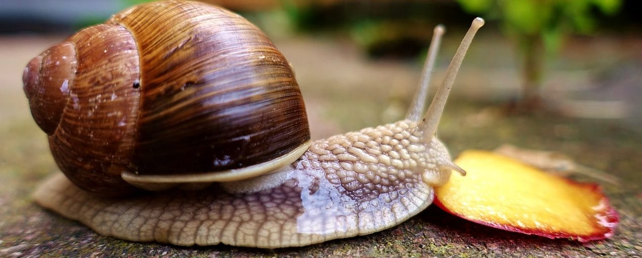 The Achatina snail