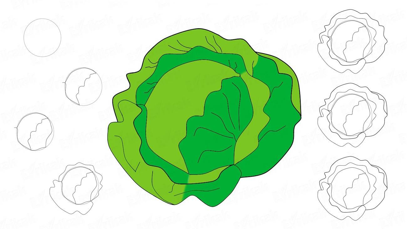 How to draw a white cabbage